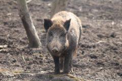 Zoo Wildschwein