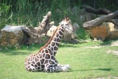 Zoo kleine Giraffe